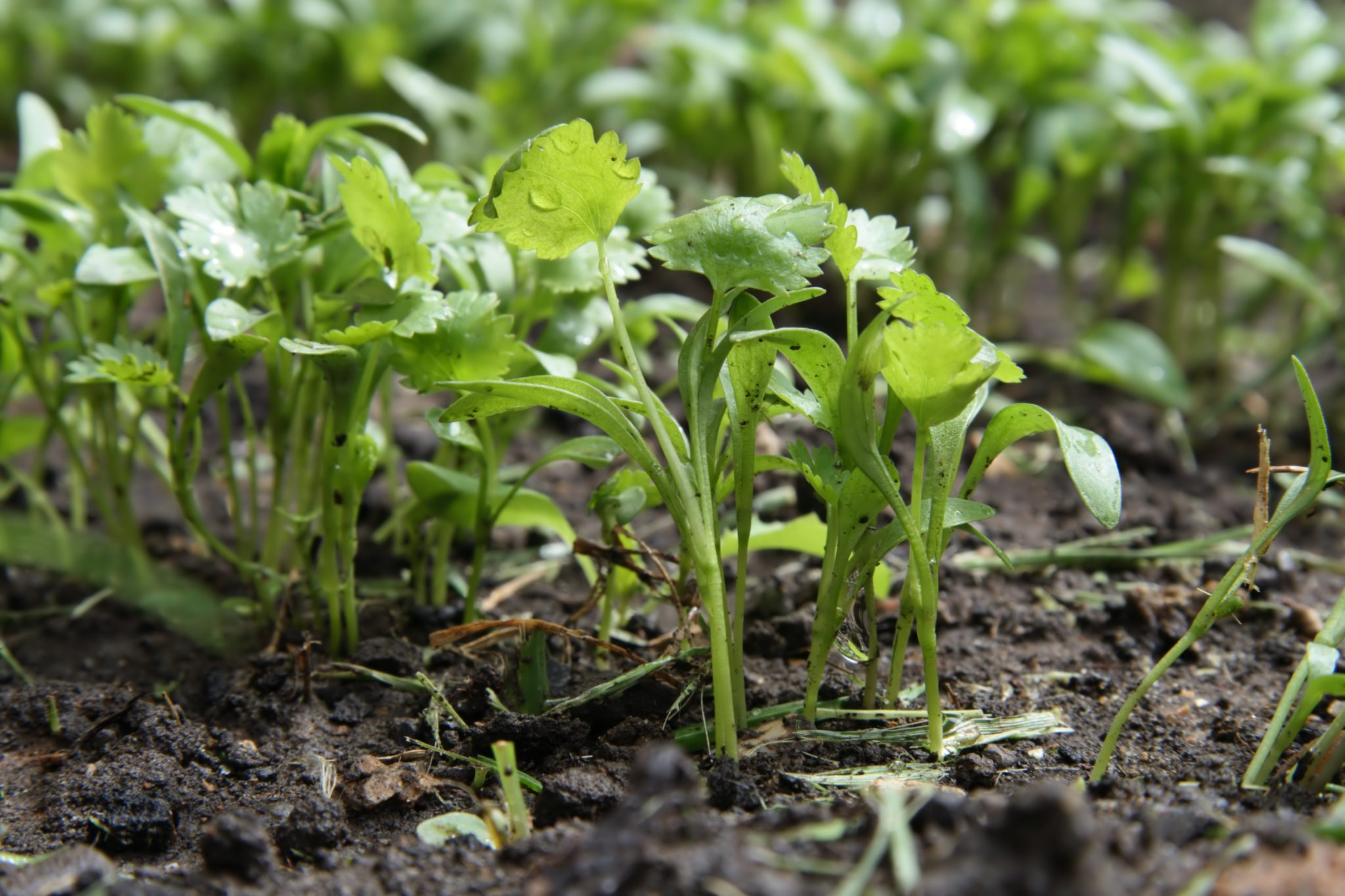 cilantro growing tips