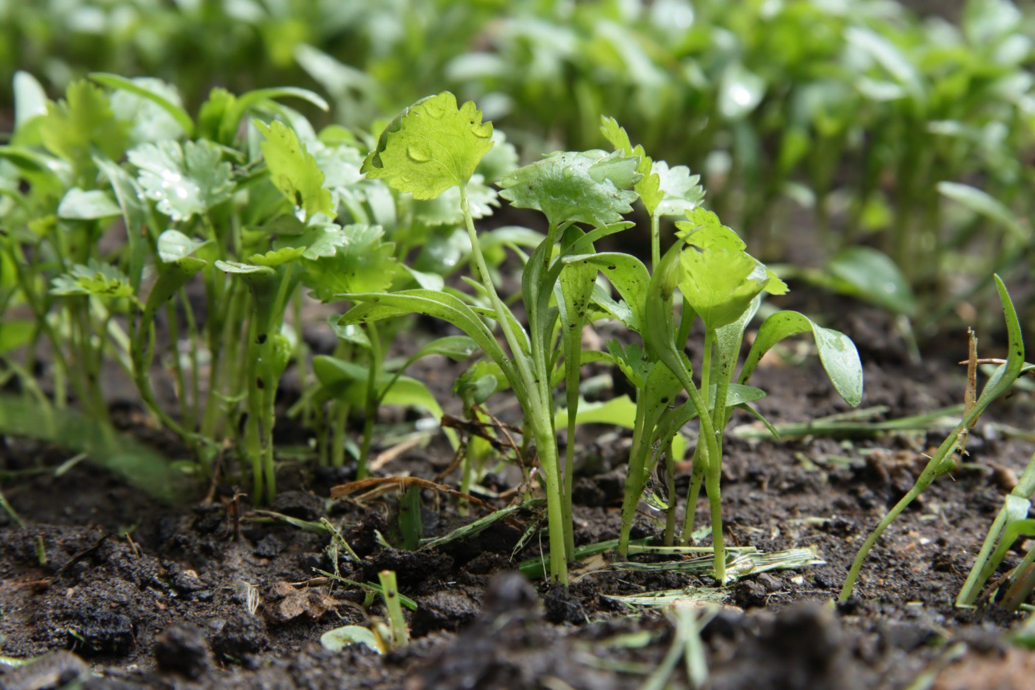 cilantro growing tips