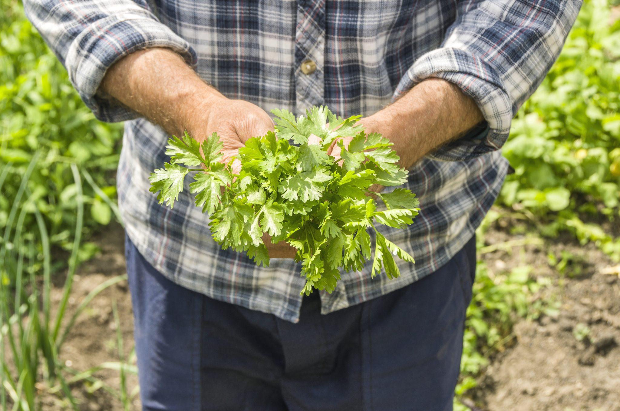 grow cilantro