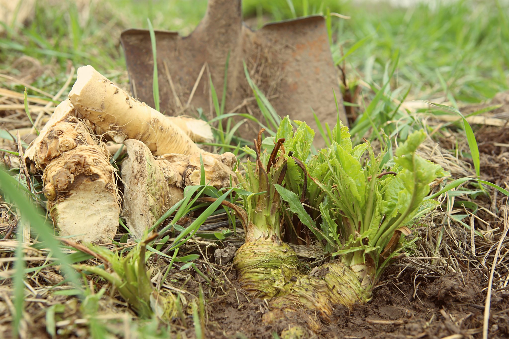 horseradish root