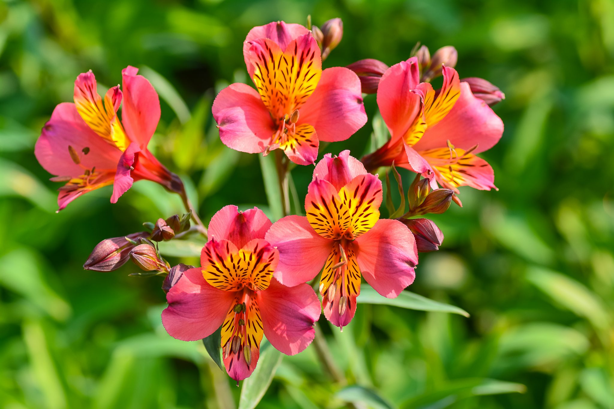 How to plant and grow alstroemerias guide install it direct izmirmasajfo