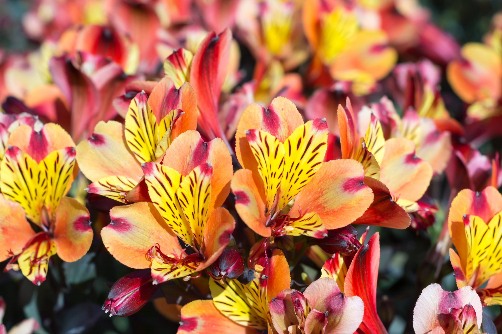 growing alstroemeria