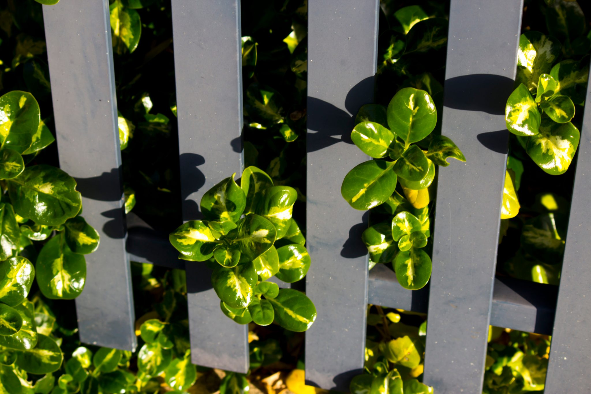 Coprosma (Mirror Plant)