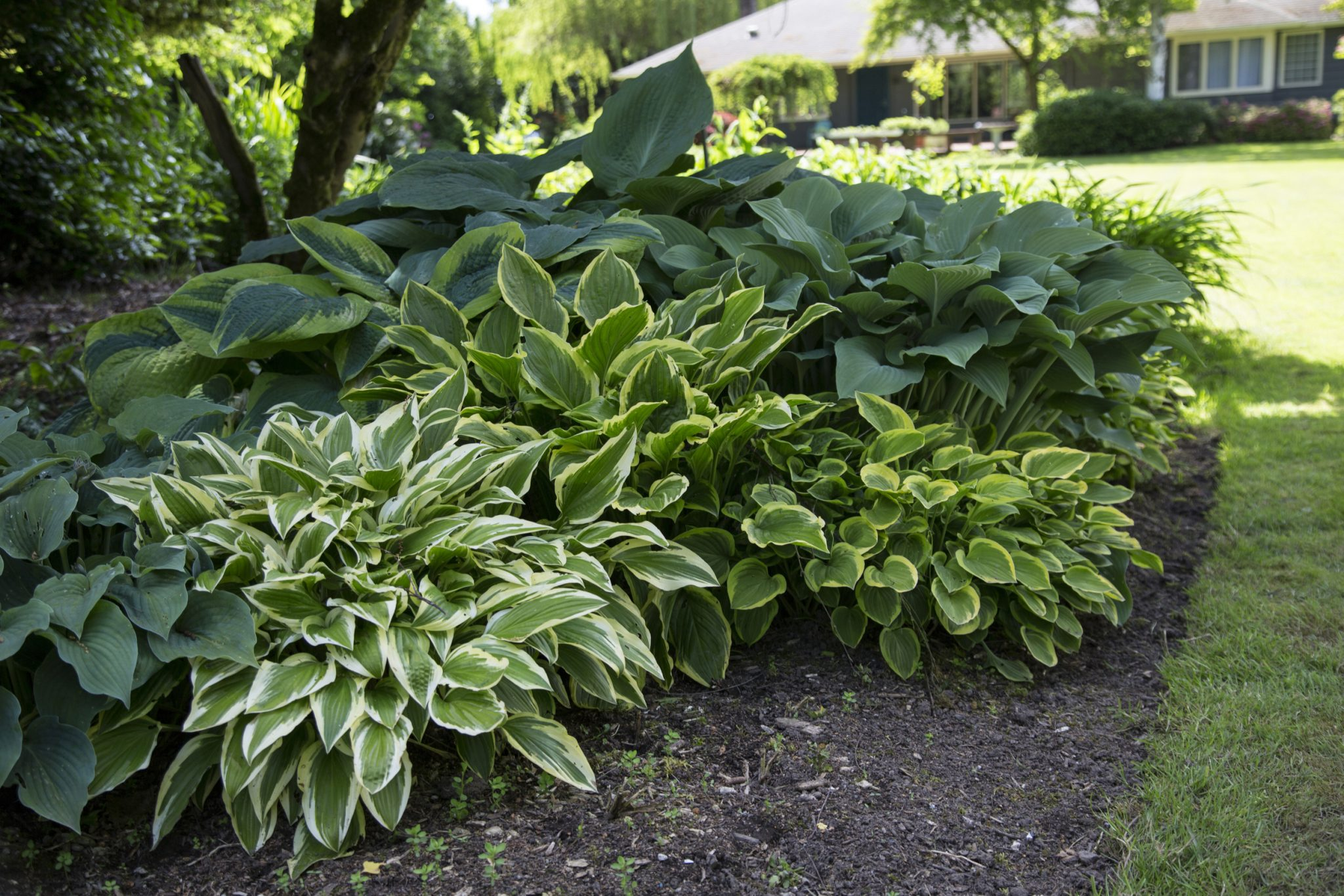 Plants for Shade Hostas