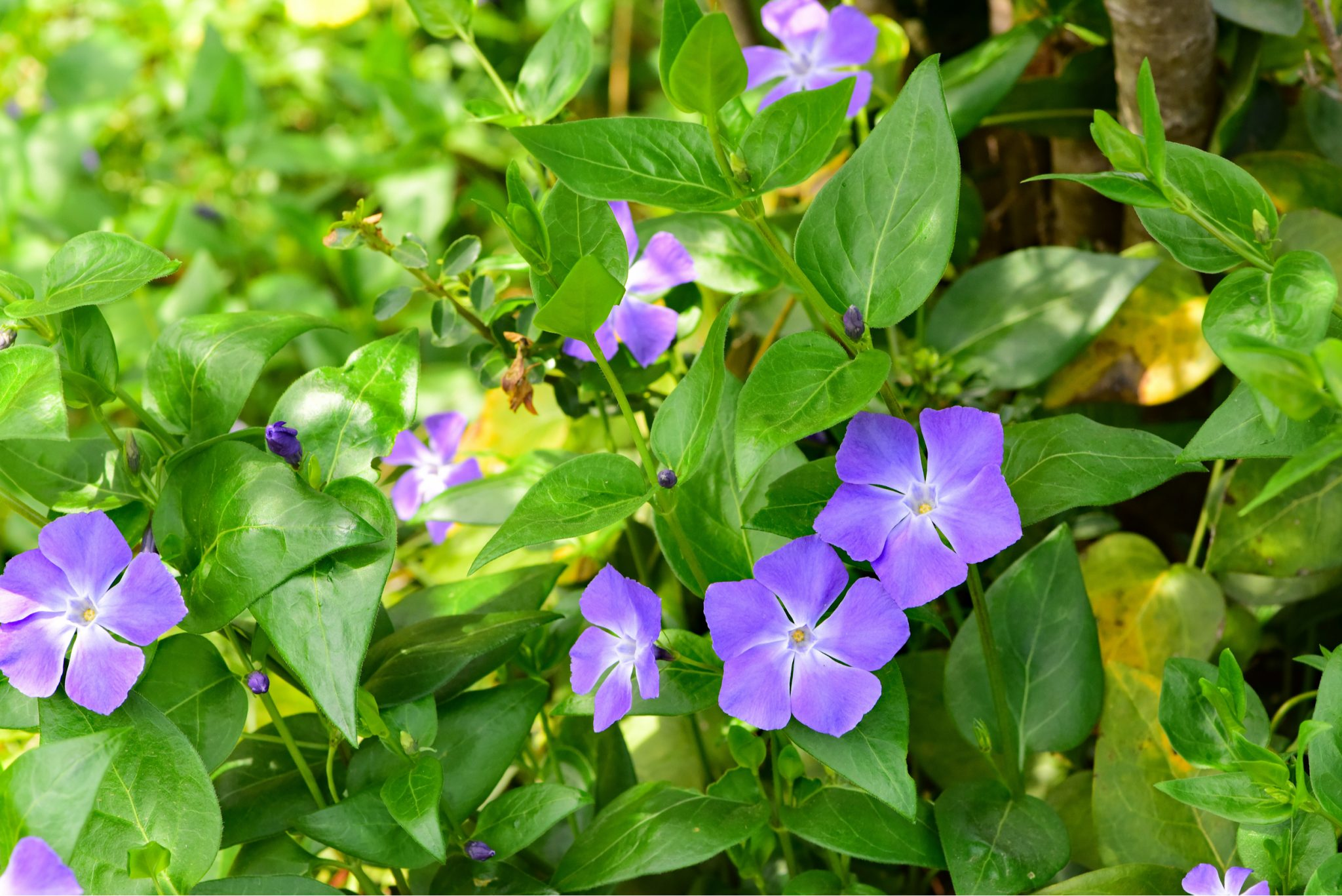 Vinca Major and Vinca Minor (Periwinkle, Creeping Myrtle)