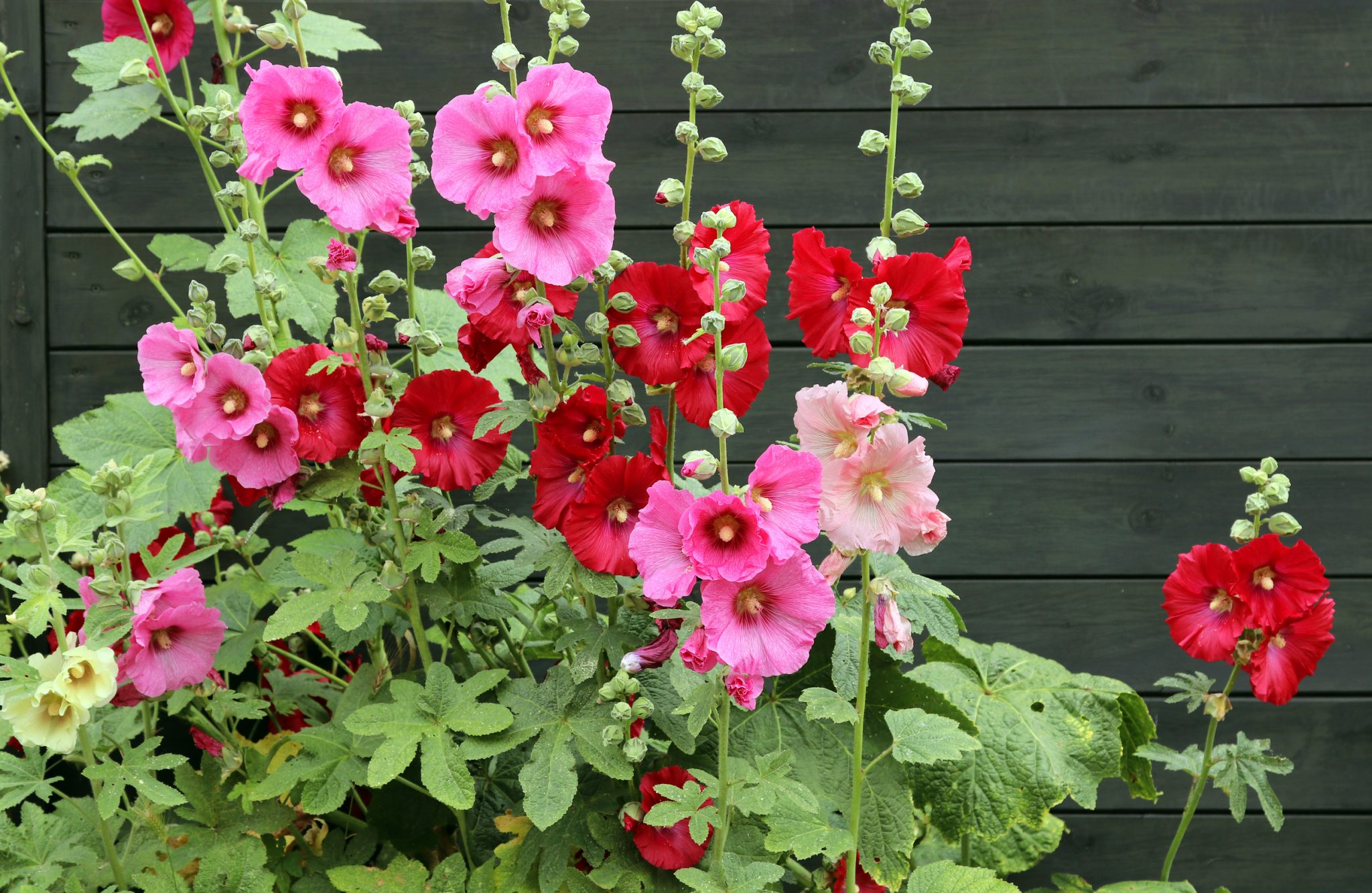 Grow Hollyhocks Alcea Rosea