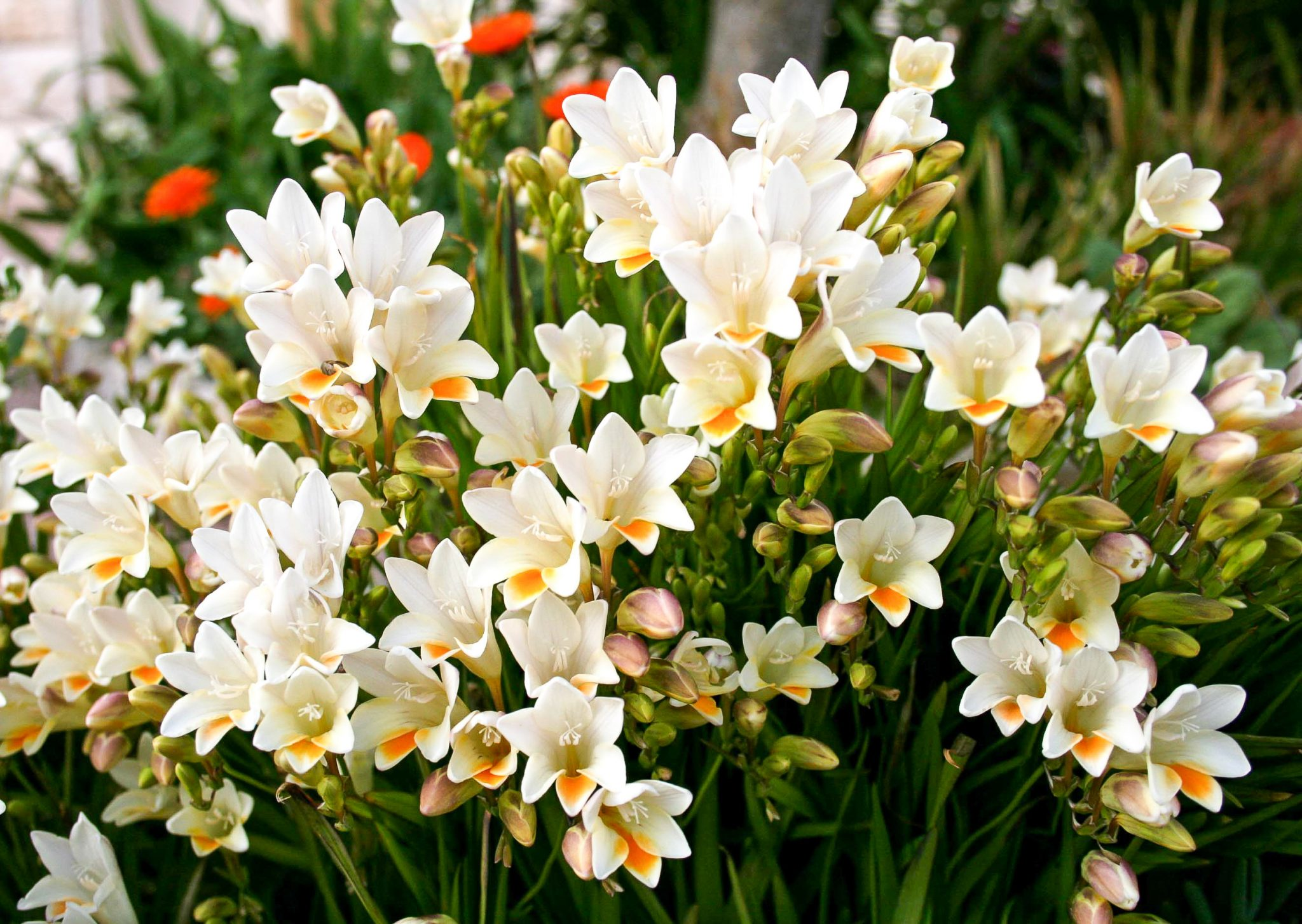 How to Grow Freesia