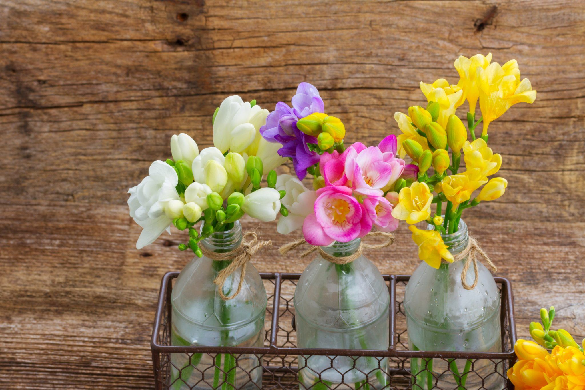 How to Plant and Grow Freesia