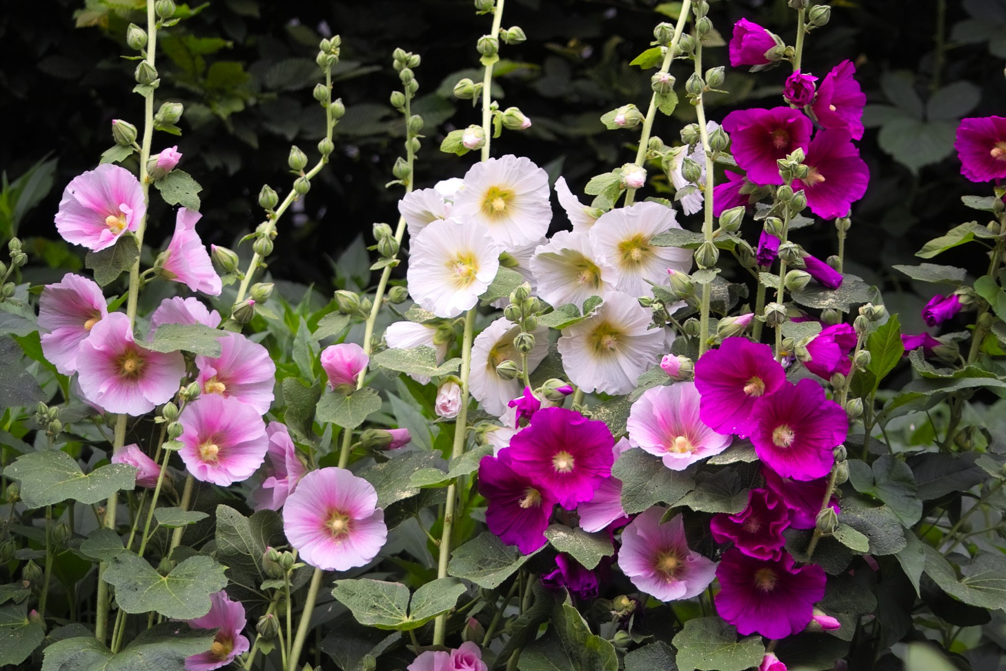 How to plant Hollyhocks Alcea Rosea
