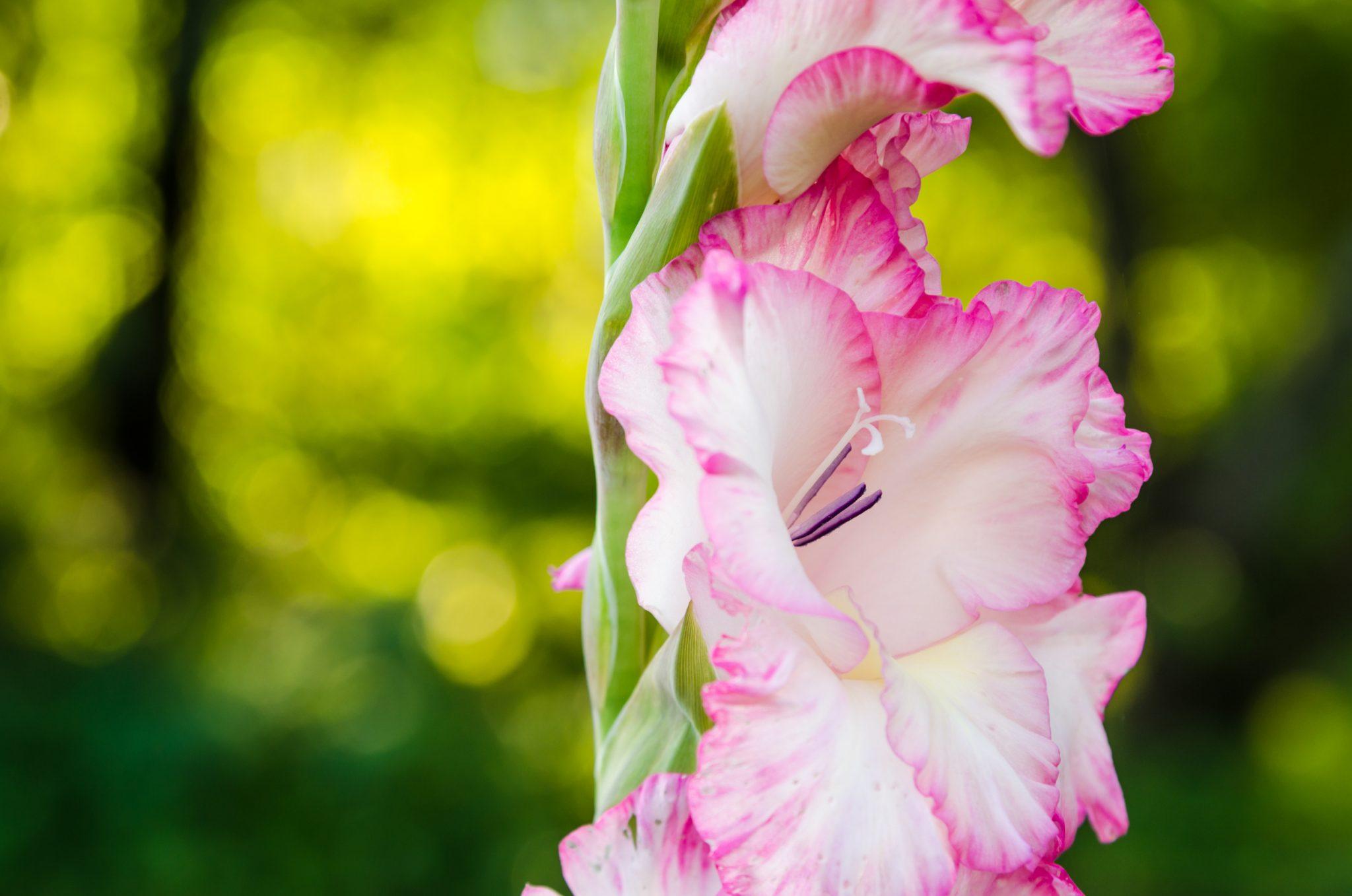 gladioli garden