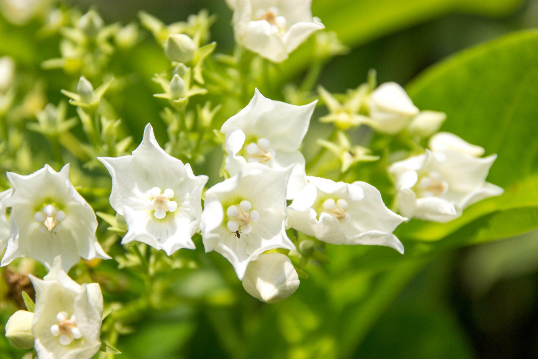 Night-blooming jasmine (Cestrum nocturnum)