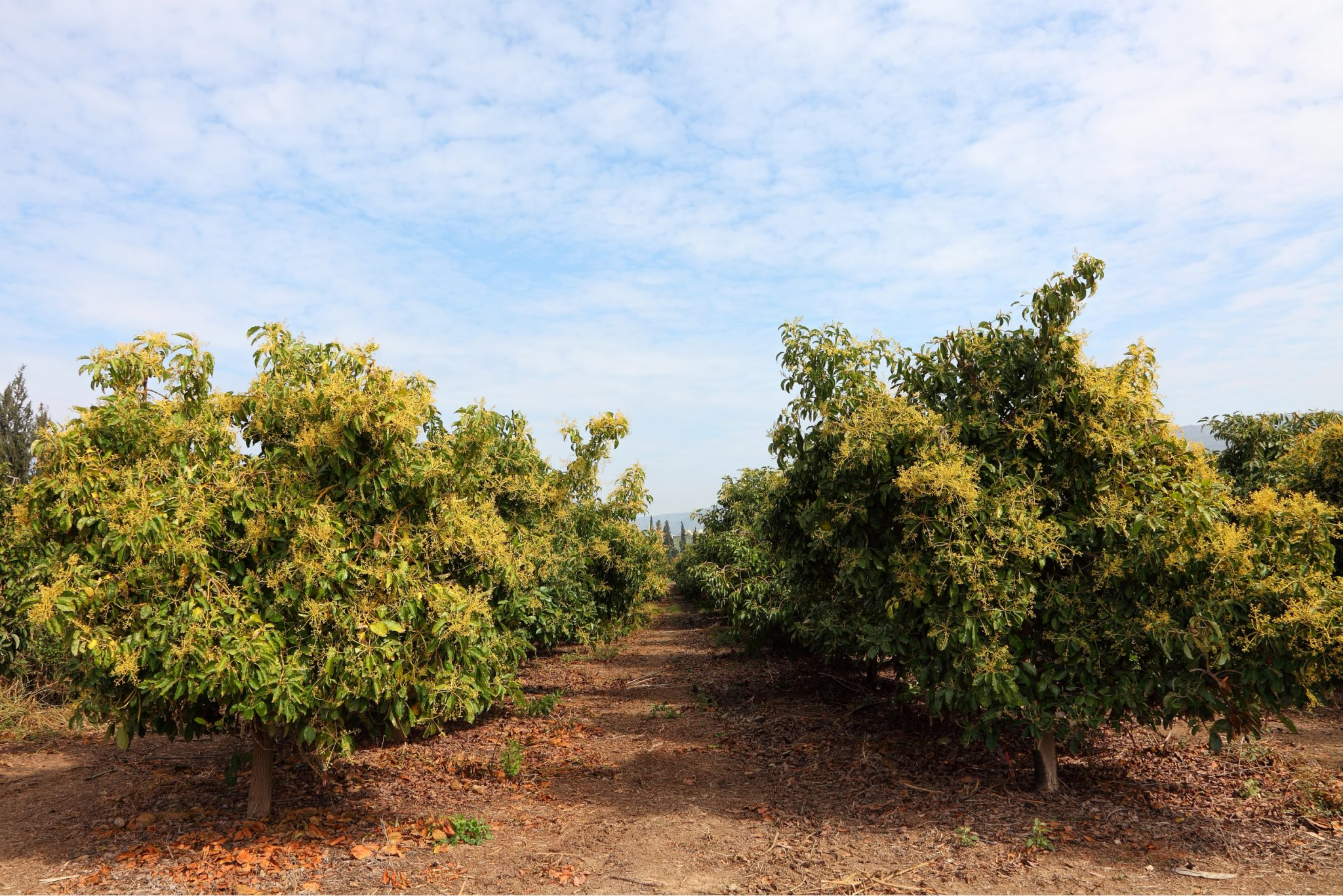 how to plant grow avocado tree