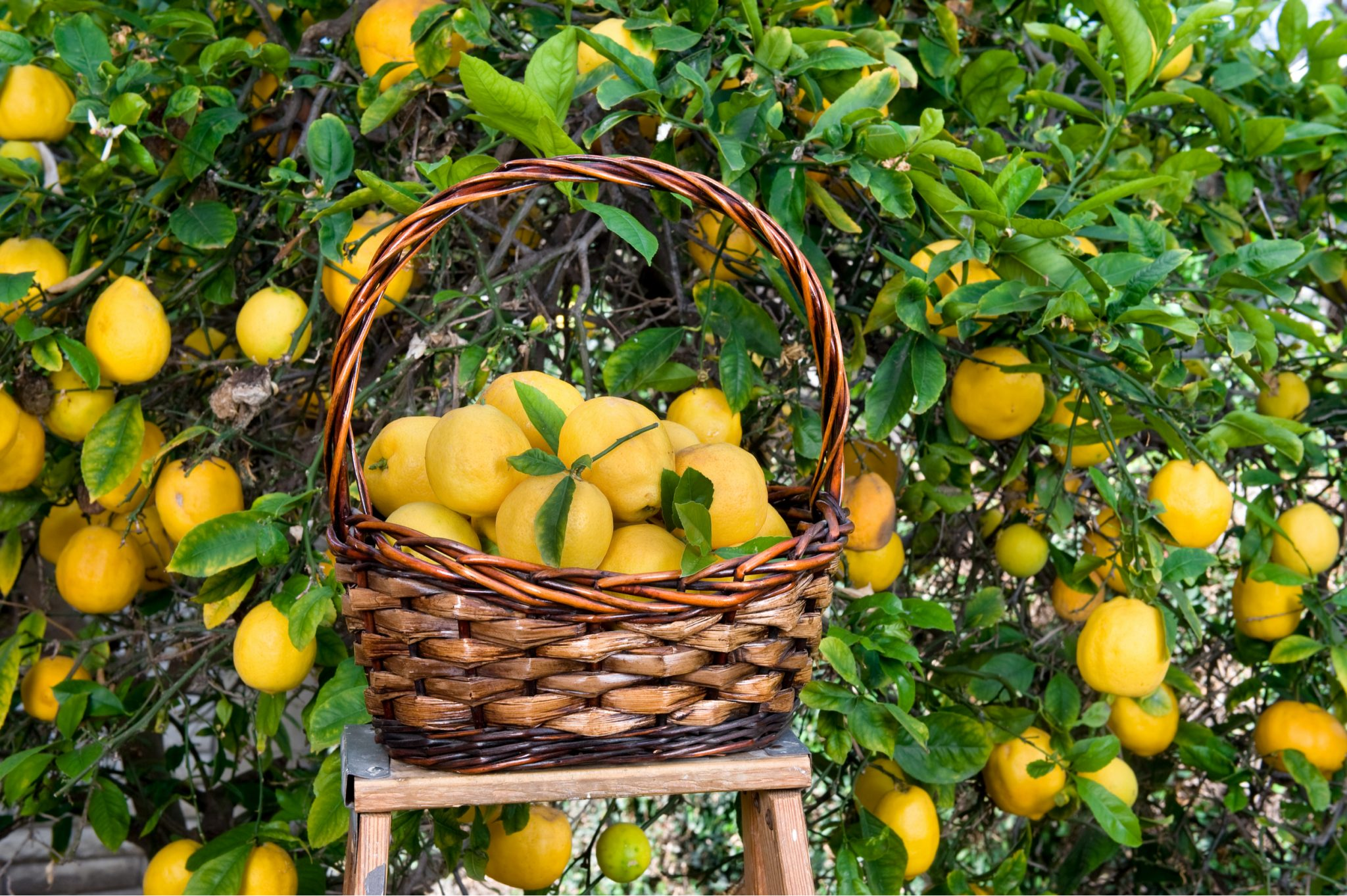 How to Harvest Citrus Fruits
