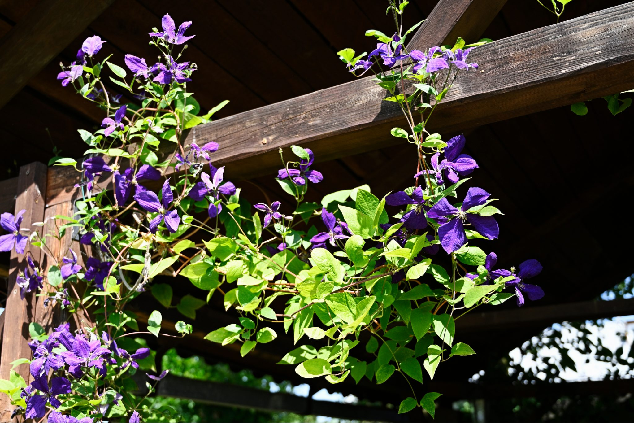 Best Pergola Plant Ideas