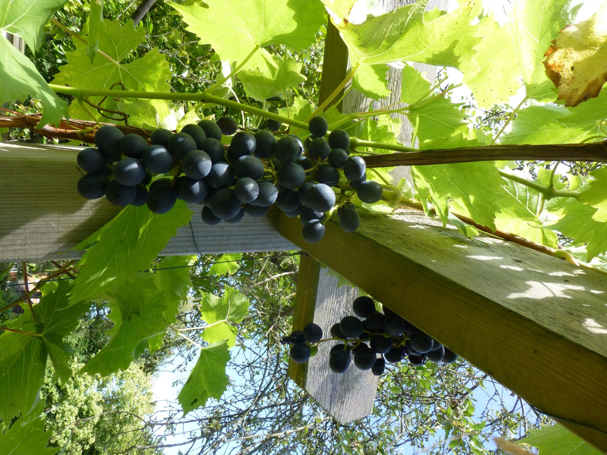 Best Pergola Plants Grapevines