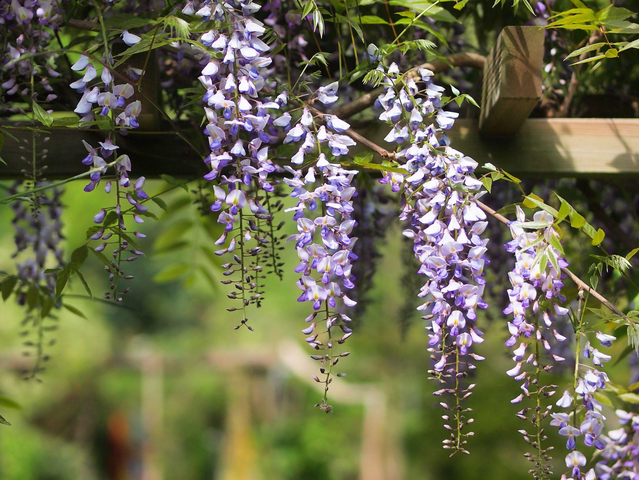 Pergola Plants