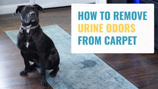Remove Urine Odors from Carpet
