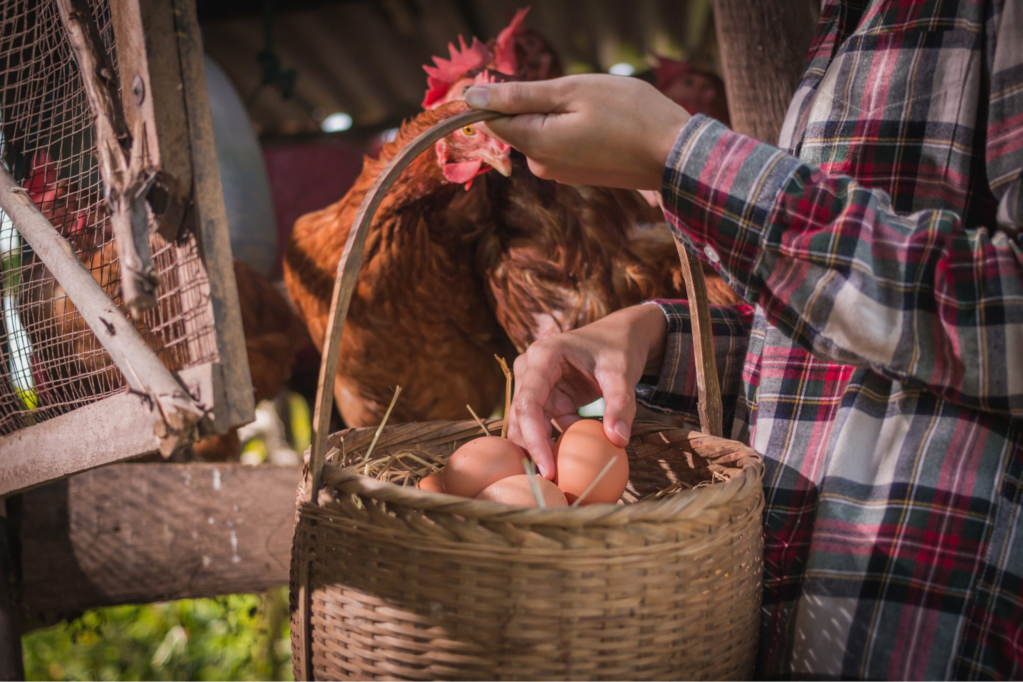 Backyard Chicken Coop Tips