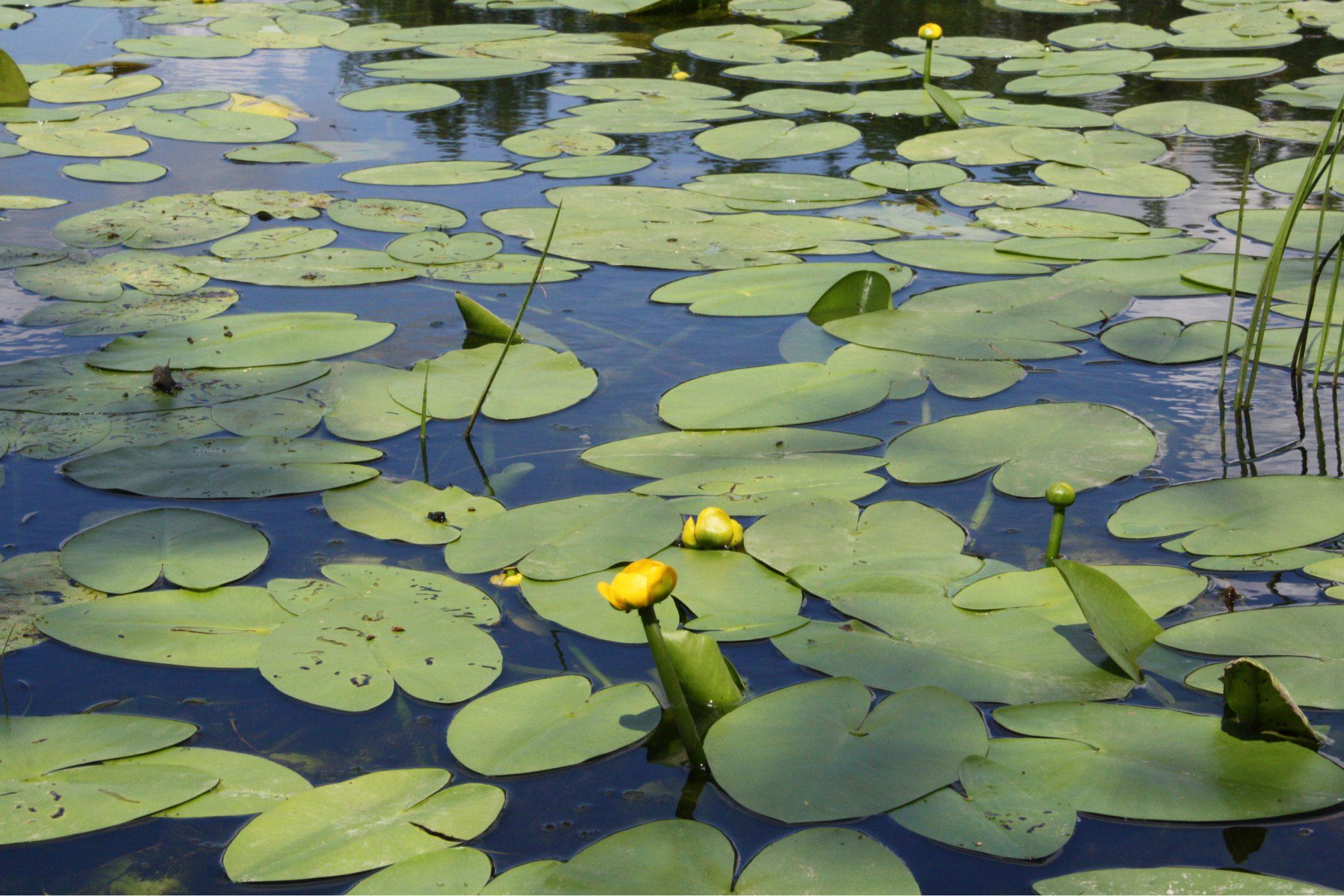 pond plants guide