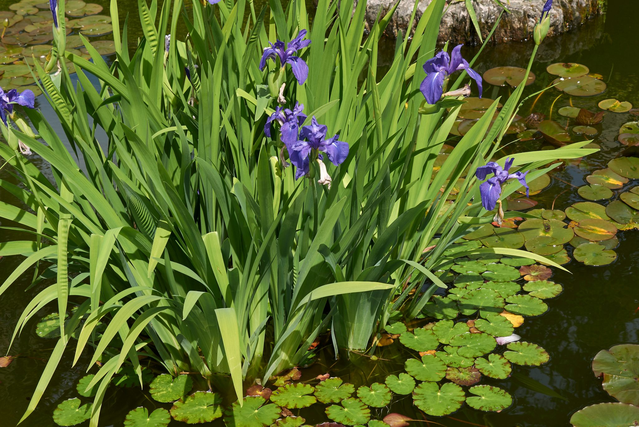 pond plants ideas tips